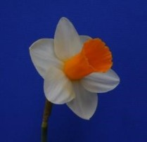 Division 1. Trumpet Daffodil Cultivars picture