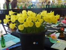 Division 10 Bulbocodium Daffodil Cultivars