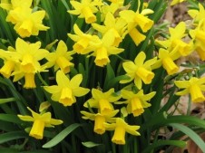 Division 12 Other Daffodil Cultivars picture
