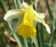 Division 13 Species Daffodils picture