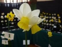 Division 5 Triandrus Daffodil Cultivars picture