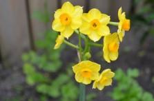 Division 7 Jonquilla Daffodils picture