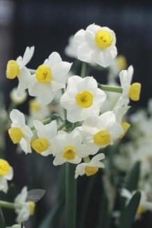 Division 8 Tazetta Daffodil Cultivars picture