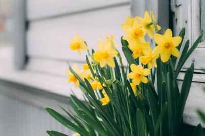 A pot of daffodils